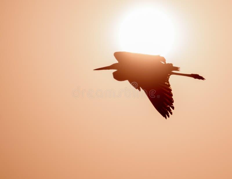 Voo do Egret na frente do sol fotografia de stock royalty free