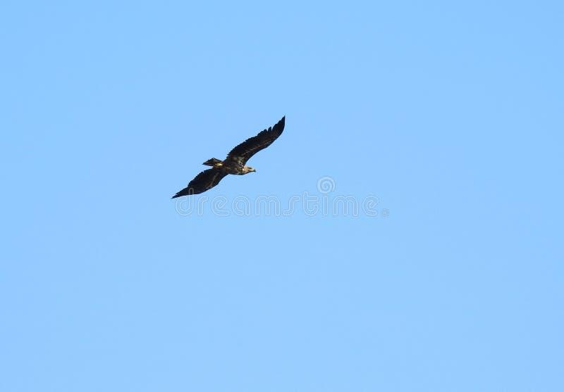 Voo do pássaro da águia de mar no céu azul, Lituânia fotografia de stock royalty free