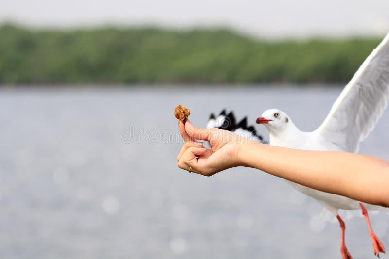 Voo do PÁSSARO da gaivota que vem comer o alimento da alimentação da mulher imagens de stock royalty free