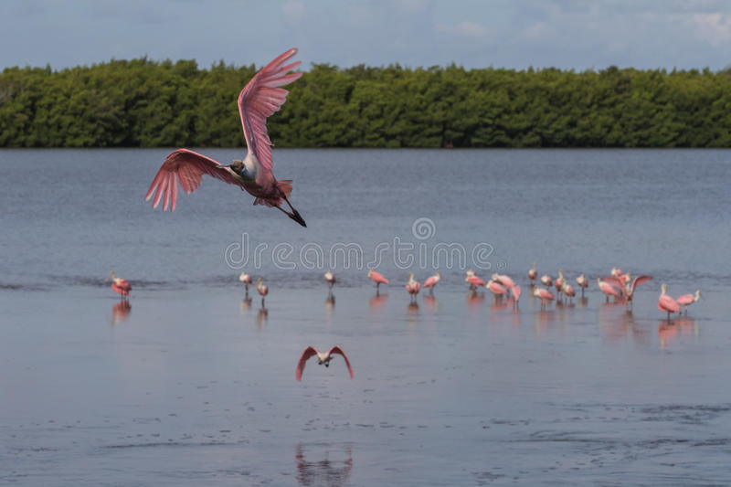 Voo do Spoonbill róseo, J n Ding Darling National Wildlif imagem de stock royalty free