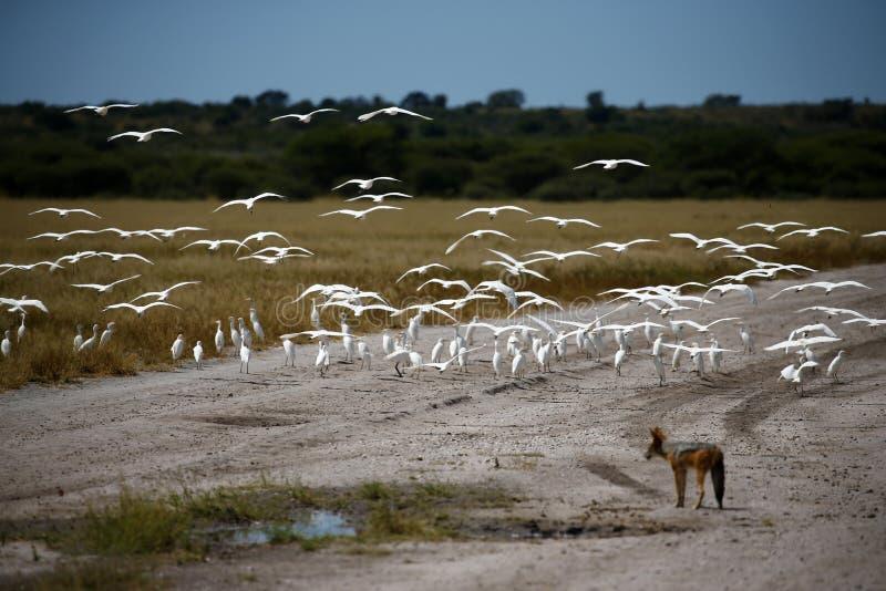 Voo dos Egrets pequenos fotografia de stock royalty free