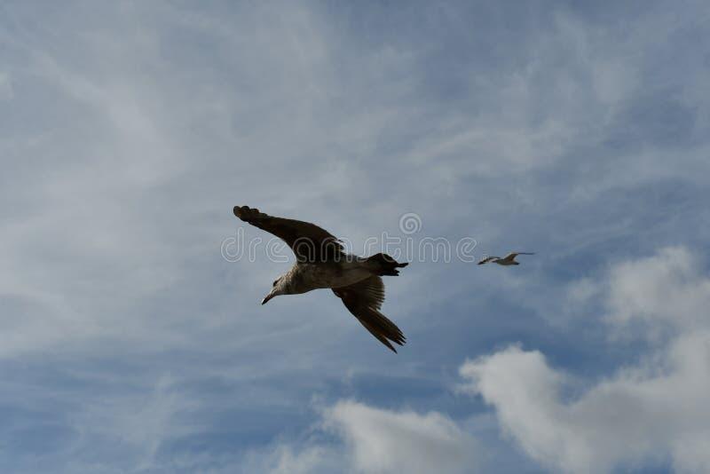 Voo dos pares da gaivota junto contra o céu azul fotografia de stock royalty free