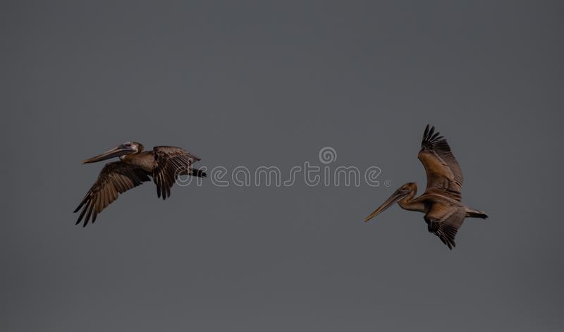 Voo dos pelicanos de Brown sobre JN Ding Darling National Wildlife Reserve foto de stock royalty free
