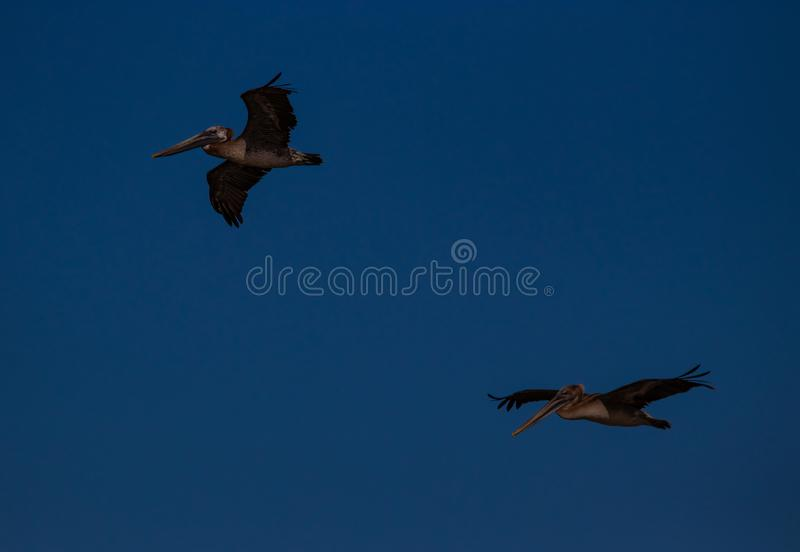Voo dos pelicanos de Brown sobre JN Ding Darling National Wildlife Reserve fotos de stock royalty free