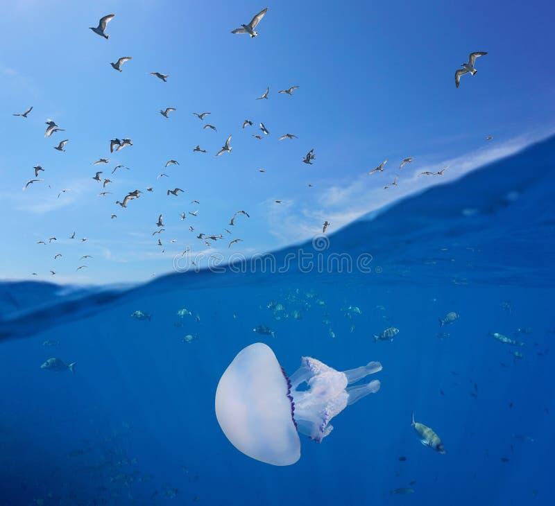 Voo e peixes das gaivota com medusa debaixo d'água imagens de stock