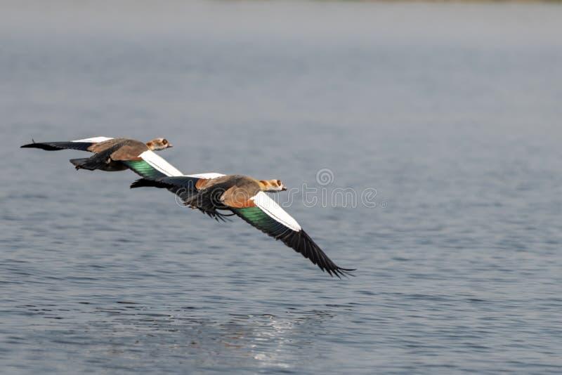 Voo egípcio dos gooses perto no parque nacional do chobe em Botswana em África imagem de stock royalty free