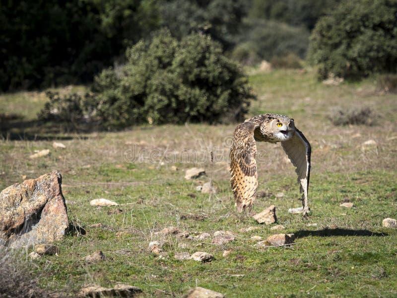 Voo euro-asiático do bubão do bubão da coruja de águia em uma exposição da falcoaria imagens de stock royalty free