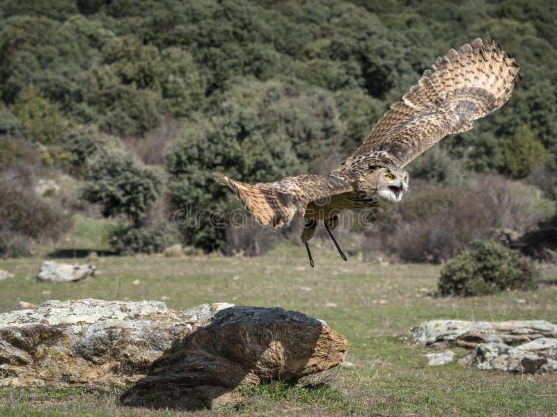 Voo euro-asiático do bubão do bubão da coruja de águia em uma exposição da falcoaria foto de stock royalty free