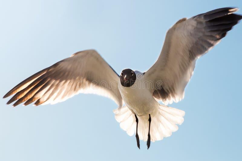Voo isolado da gaivota no céu azul fotos de stock