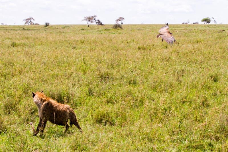 voo Lappet-enfrentado do abutre em torno do crocuta manchado do Crocuta da hiena fotografia de stock