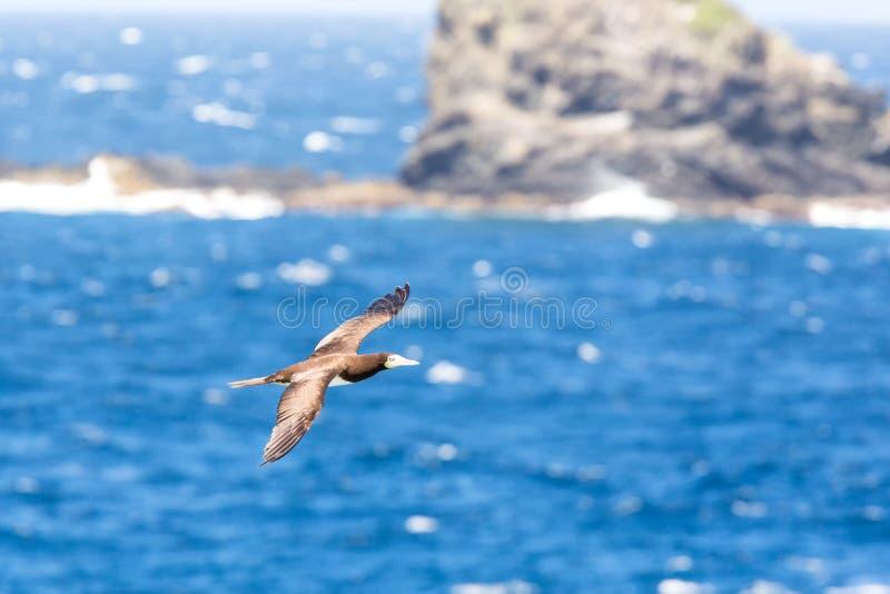 Voo mascarado do dactylatra do Sula do peito sobre o Oceano Atlântico perto da ilha de Tobago no mar caribean, pássaro marinho bo foto de stock royalty free