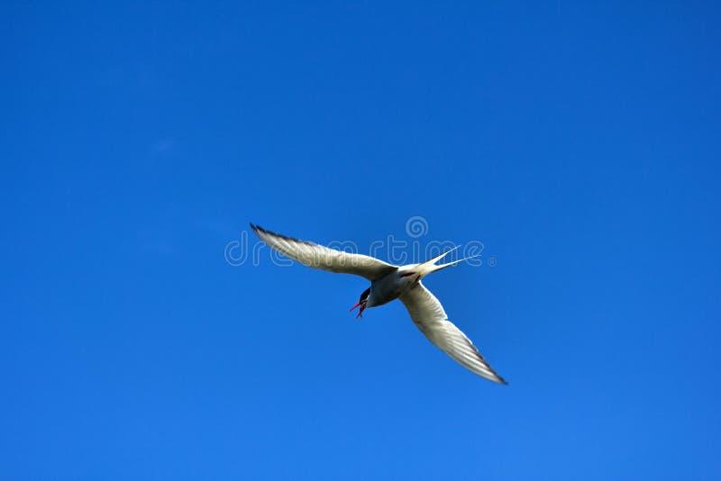 Voo novo da andorinha-do-mar do rio (hirundo dos esternos) fotos de stock