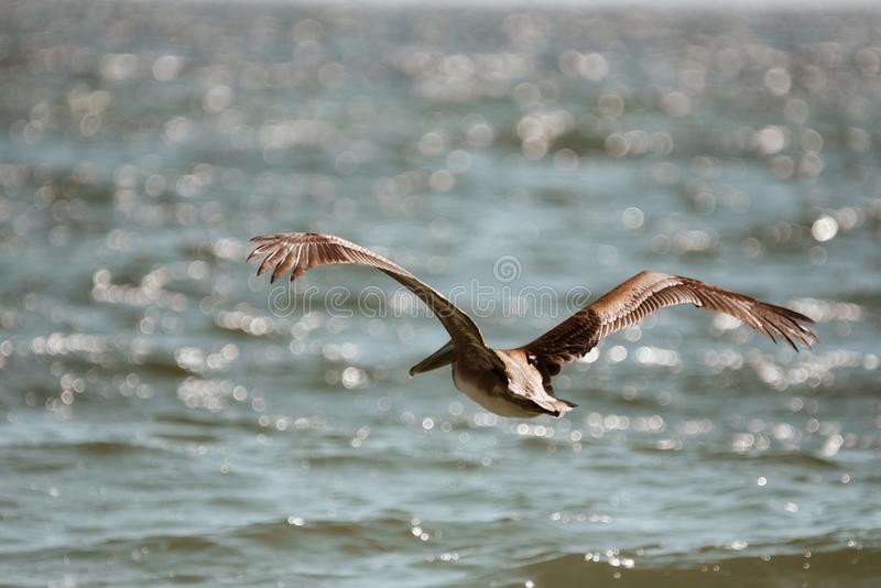 Voo pelicano sobre as águas da costa do Golfo fotografia de stock