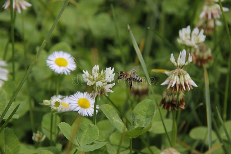 Voo pequeno da abelha na flor no jardim a alimentar imagem de stock royalty free