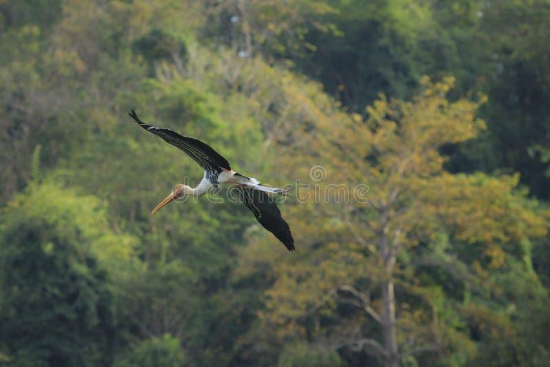 Voo pintado do pássaro da cegonha contra selvagem natural verde fotos de stock