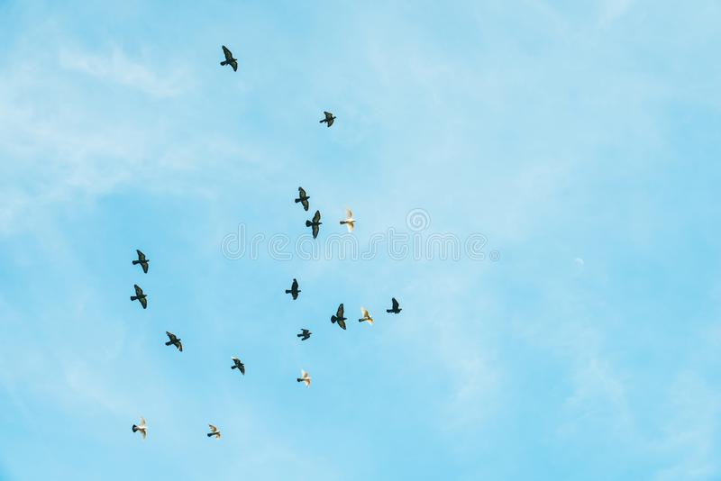 Voo preto e branco dos pássaros no céu fotos de stock royalty free