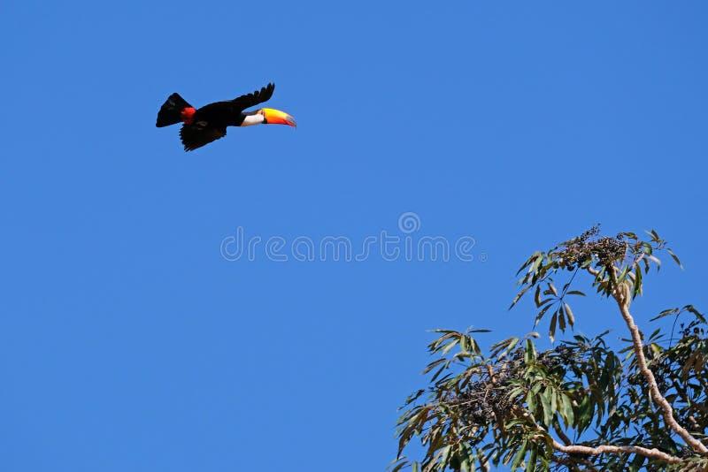 Voo Toco Toucan, Ramphastos Toco, igualmente conhecido como o tucano comum, tucano gigante, Pantanal, Mato Grosso do Sul, Brasil imagens de stock