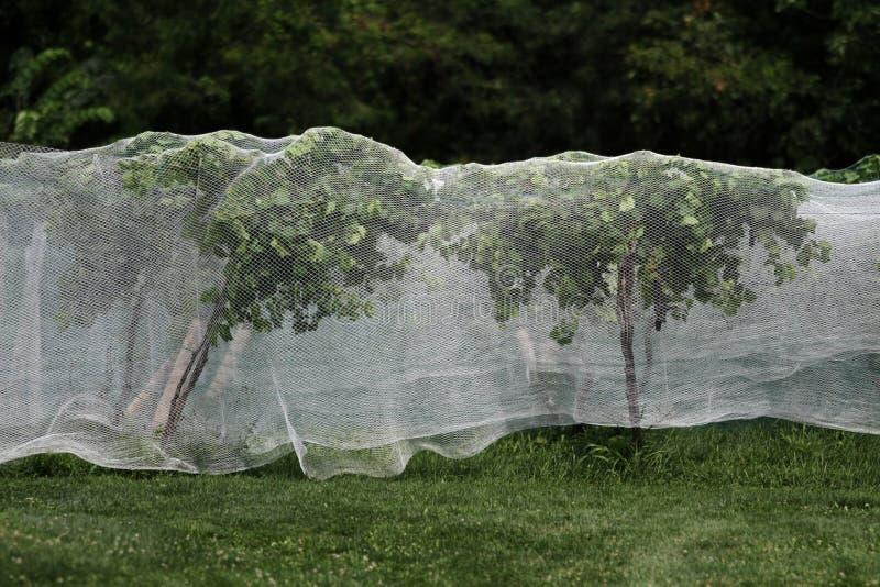 Voor bescherming in een wijngaard bestemde druiven royalty-vrije stock fotografie