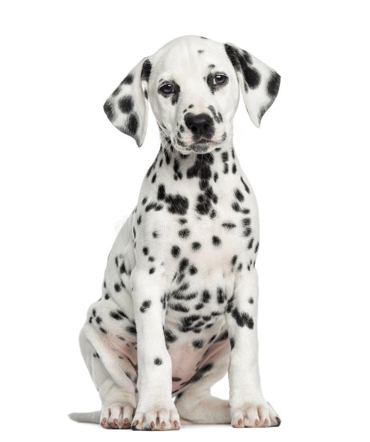 Vooraanzicht van een Dalmatische puppyzitting, geïsoleerd onder ogen zien, royalty-vrije stock afbeeldingen