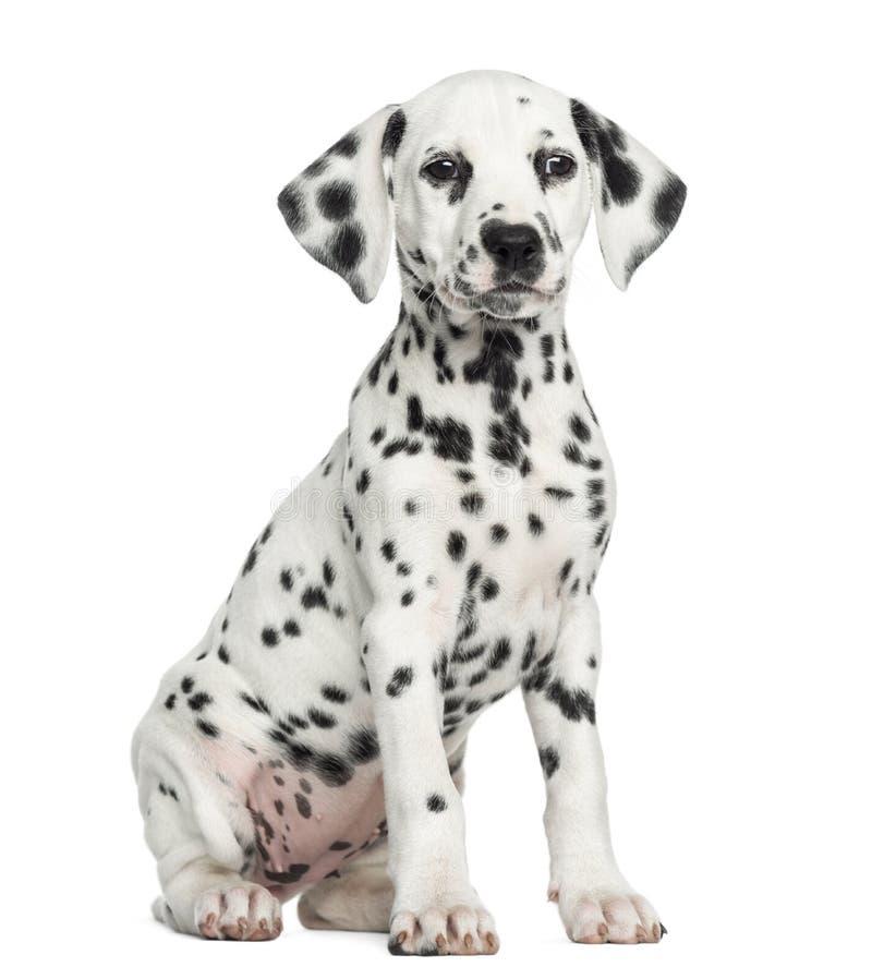 Vooraanzicht van een Dalmatische puppyzitting, geïsoleerd onder ogen zien, stock foto's