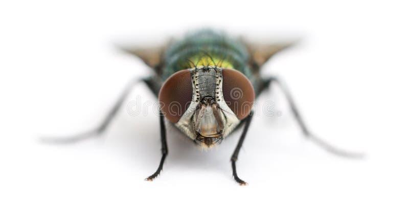Vooraanzicht van een Gemeenschappelijke groene flessenvlieg die, Phaenicia-sericata onder ogen zien stock afbeeldingen