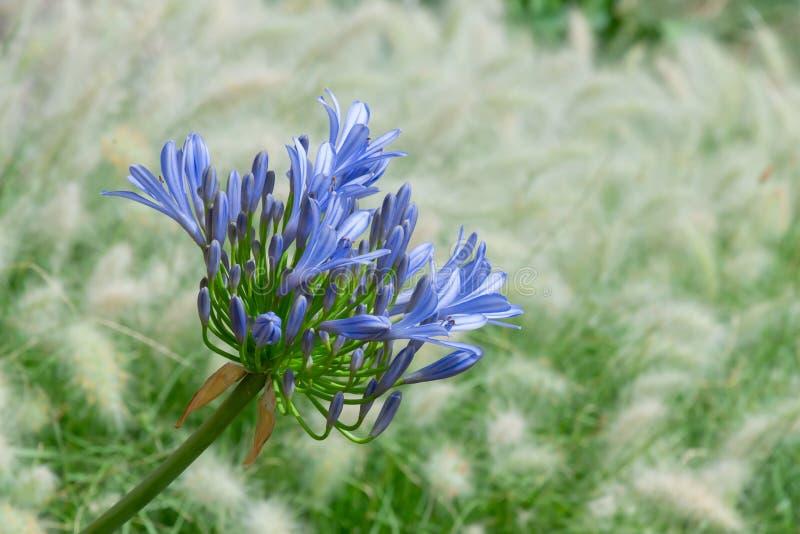 Vooraanzicht van een heldere blauwe bloeiende bloem van Agapanthus, of Lelie van de Nijl stock foto
