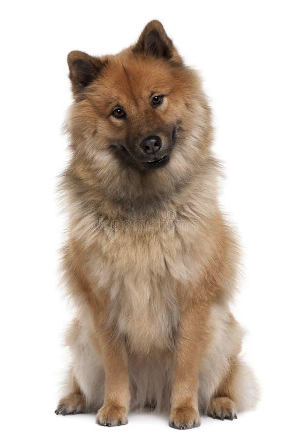 Vooraanzicht van Eurazier hond, 2 Jaar Oud, het zitten royalty-vrije stock foto's