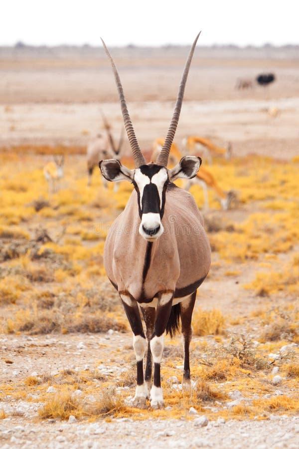 Vooraanzicht van gemsbok, gemsbuck, Oryx-gazella, antilope Inwoner aan de Woestijn van Kalahari, Namibië en Botswana, Zuiden royalty-vrije stock foto