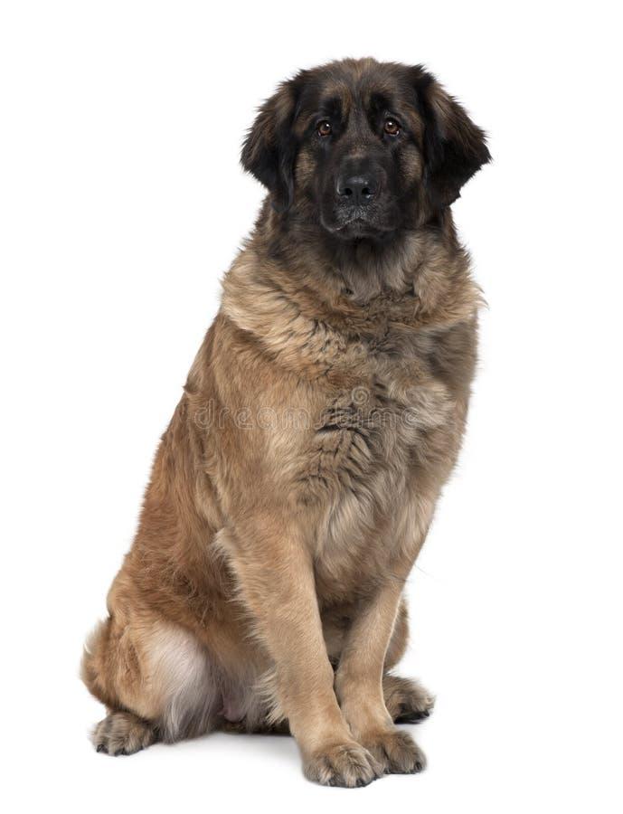 Vooraanzicht van Leonberger hond, het zitten royalty-vrije stock afbeeldingen