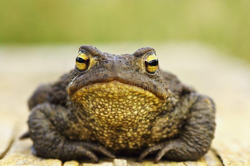 Vooraanzicht van leuke gemeenschappelijke bruine kikker stock fotografie
