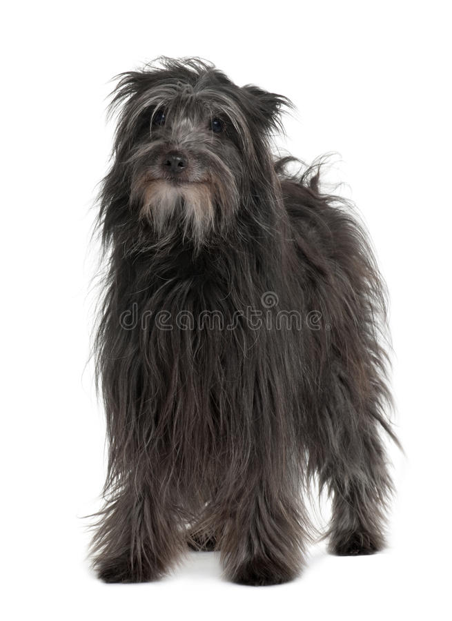Vooraanzicht van Pyrenean de hond van de Herder status royalty-vrije stock fotografie