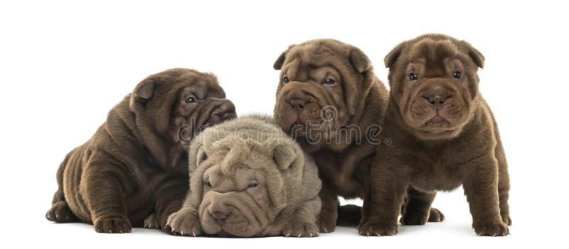 Vooraanzicht van Shar Pei-puppy die samen zijn stock afbeelding