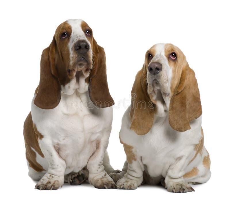 Vooraanzicht van Twee Basset Honden, het zitten stock afbeeldingen