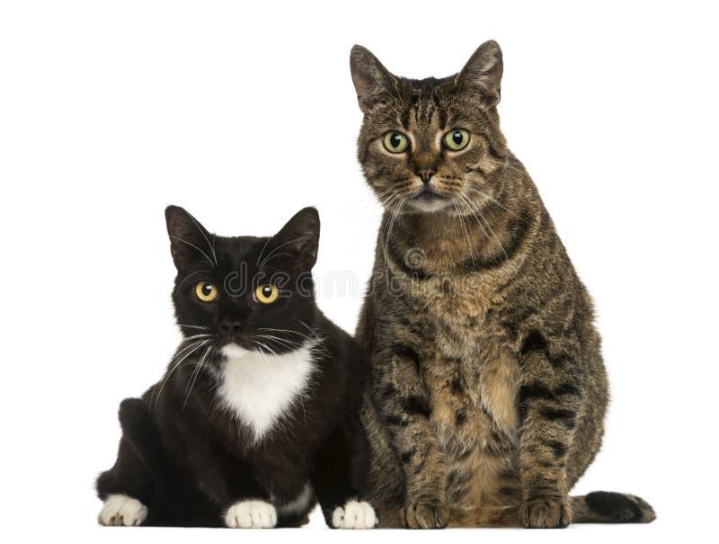 Vooraanzicht van twee Europese geïsoleerd shorthairkatten, stock afbeelding
