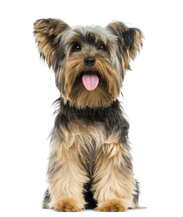 Vooraanzicht van Yorkshire Terrier die, het hijgen zitten stock foto's