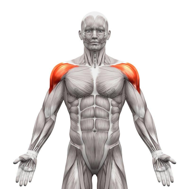 Voorafgaande Deltorisspieren - Anatomiespieren op wit worden geïsoleerd dat - vector illustratie