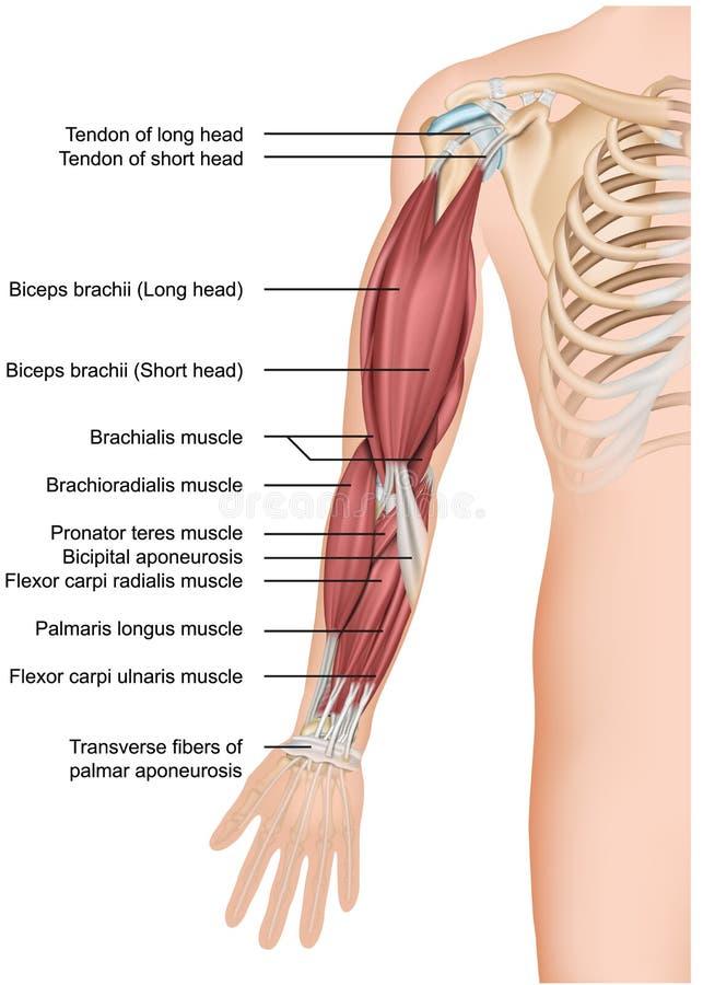 Voorarm van de de anatomie 3d medische illustratie van de wapenspier royalty-vrije illustratie