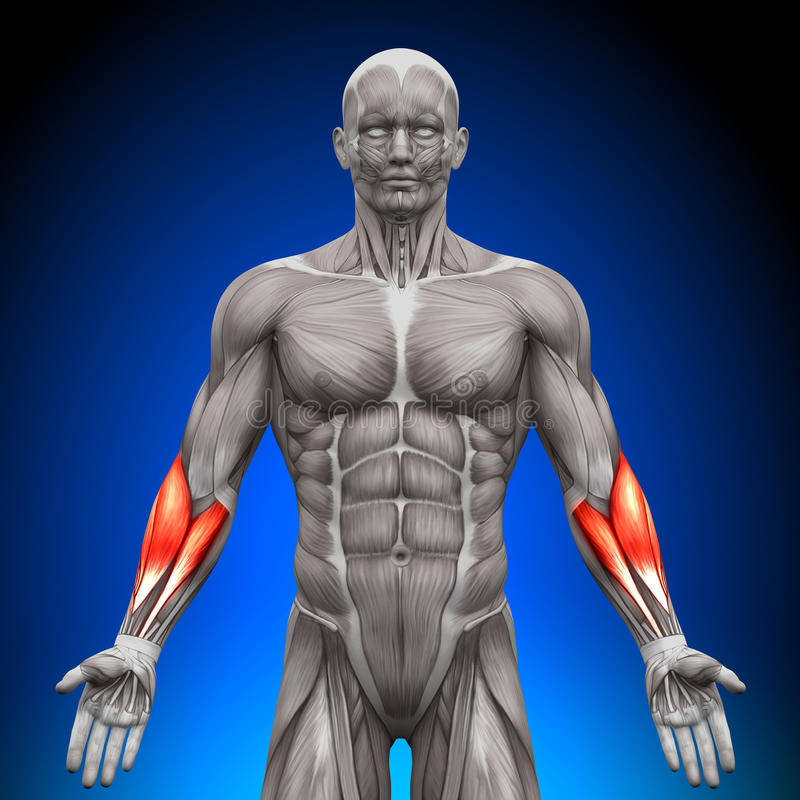 Voorarmen - Anatomiespieren vector illustratie