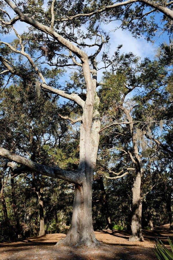 Voorbeeld van Zuidelijk Live Oak Tree stock afbeelding