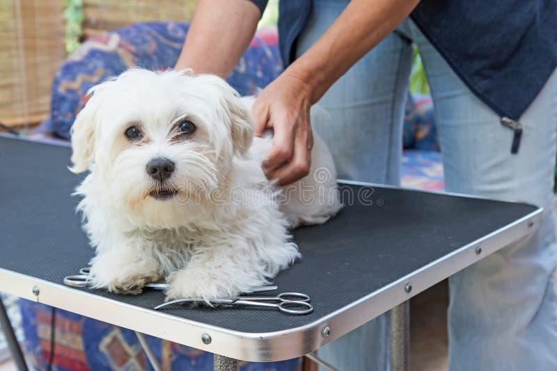 Voorbereiding van een witte Maltese hond voor het verzorgen stock foto