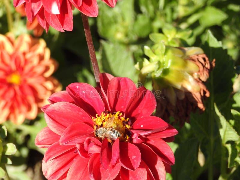 Voorbij honingbijen, whild bijen, inheemse bestuivers royalty-vrije stock fotografie