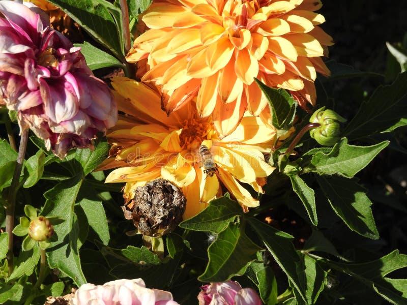 Voorbij honingbijen, whild bijen, inheemse bestuivers royalty-vrije stock foto's