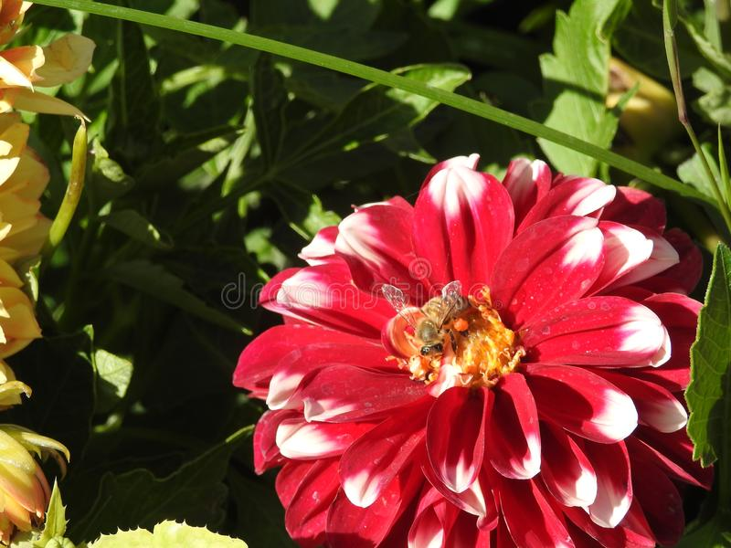 Voorbij honingbijen, whild bijen, inheemse bestuivers stock afbeeldingen