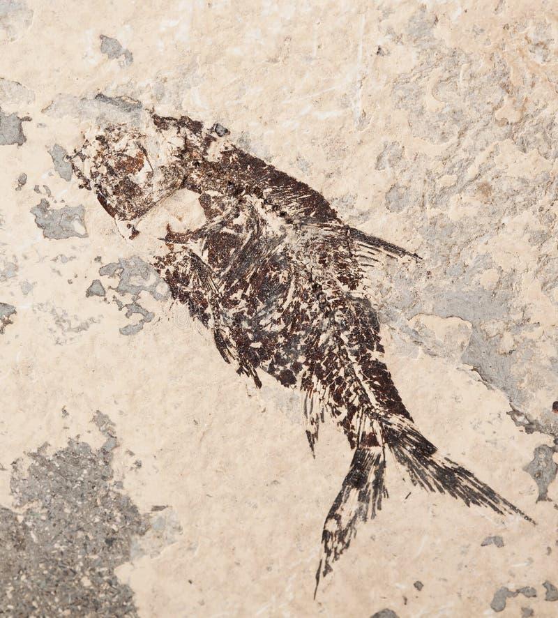 Voorhistorische vissenafdruk royalty-vrije stock foto's