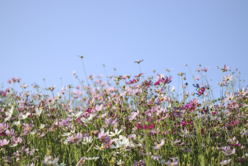 Voorraadfoto: De roze en rode tuin van kosmosbloemen, zachte nadruk royalty-vrije stock foto's