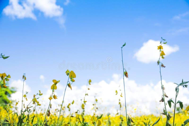 Voorraadfoto - Gebied met gele paardebloemen en blauwe hemel stock fotografie