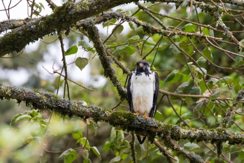 Voorspel buizerd Afrikaanse roofvogel in zwart wit bij Ngorongoro-Krater, Arusha, Tanzania, Oost-Afrika stock fotografie