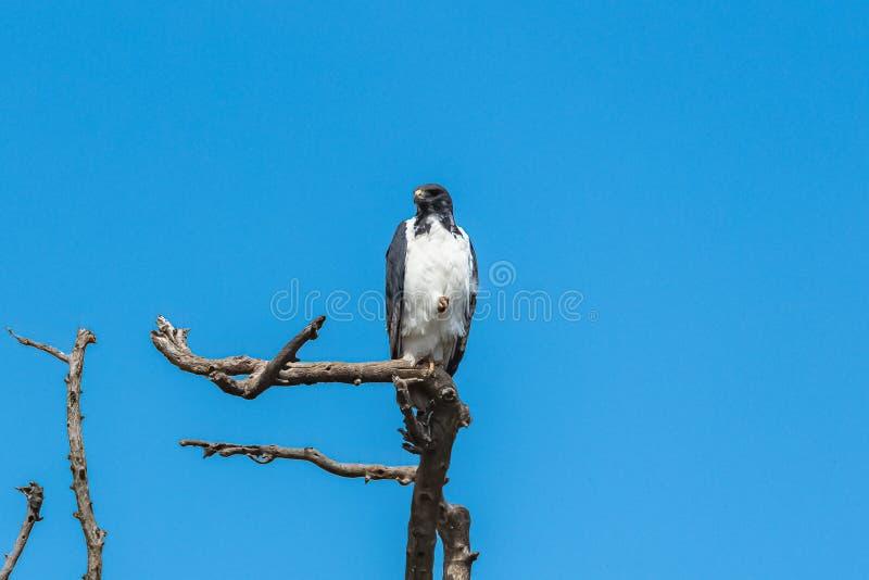 Voorspel Buizerd, vogel stock afbeelding