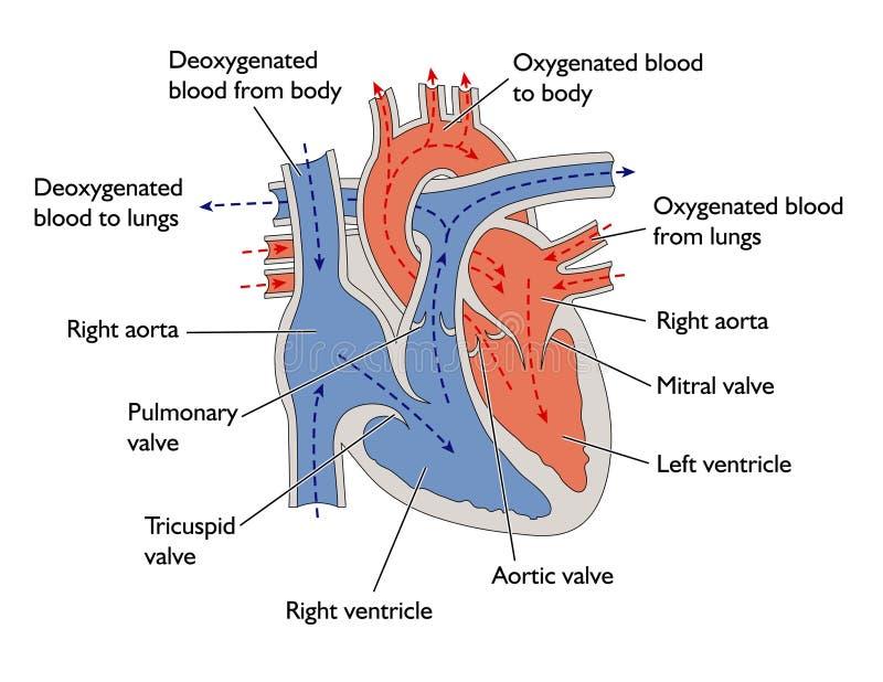 Vooruitgang van bloed door hart royalty-vrije illustratie