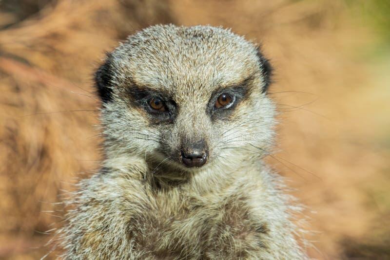 Voorzijde op dichte omhooggaand van een meerkat royalty-vrije stock foto